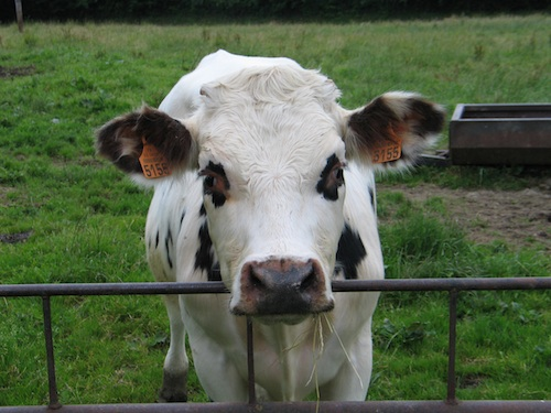 norman_cow