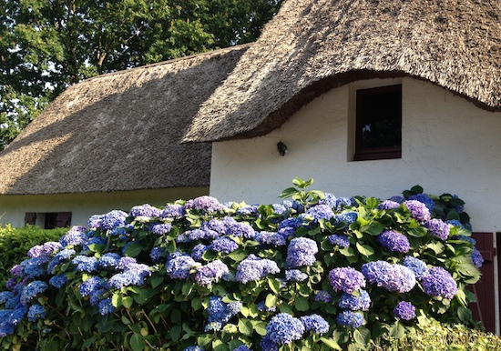 thatched house hydrangeas